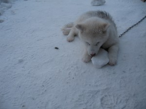 Arctic puppies play with snow balls!