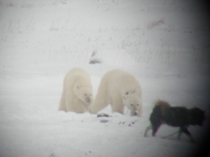 Good friends. Polar bears and dog at play