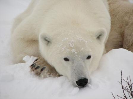 resting-bear2
