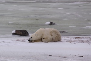 Polar bear resting on ice