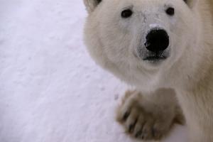 Polar bear eyes