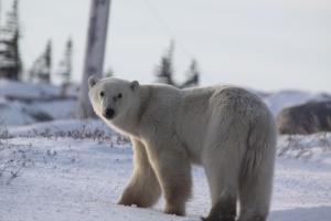 3rd polar bear