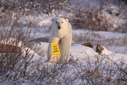 Please Do Not Disturb Polar Bear