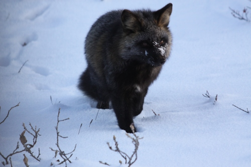 Snowy Face Cross Fox