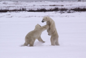 Sparring  polar bears