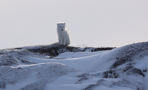 Arctic Fox Lookout