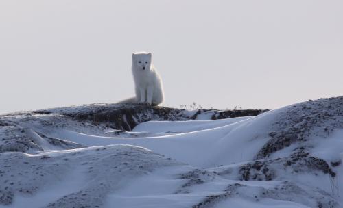 Arctic Fox Lookout