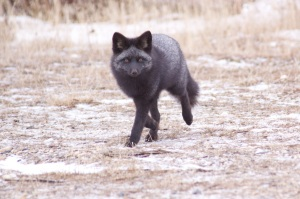 Black phase red fox
