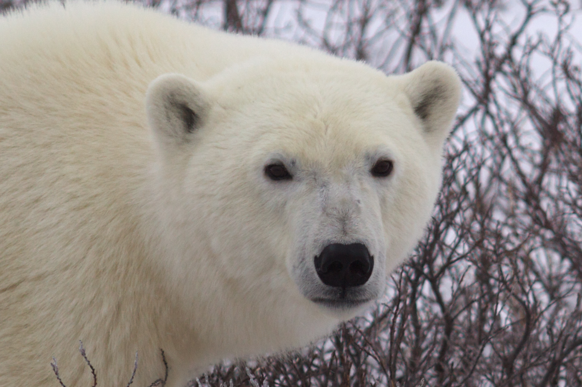 How Much Is An Oil Change >> Polar Bears | My Travel Tales