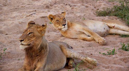 Lions Charleston Pride