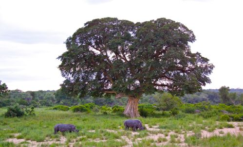 Rhinos and Figtree