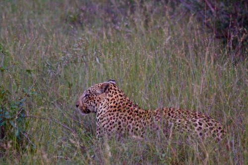 Leopard Stalking Impala