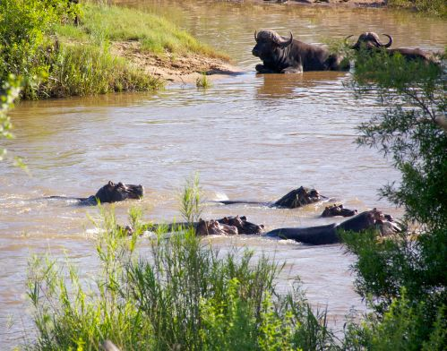 Hippos and Cape Buffalo