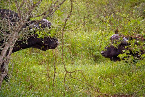 Rain Buffalo