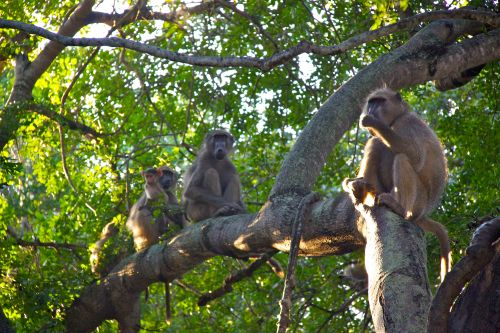 Baboon Family Tree