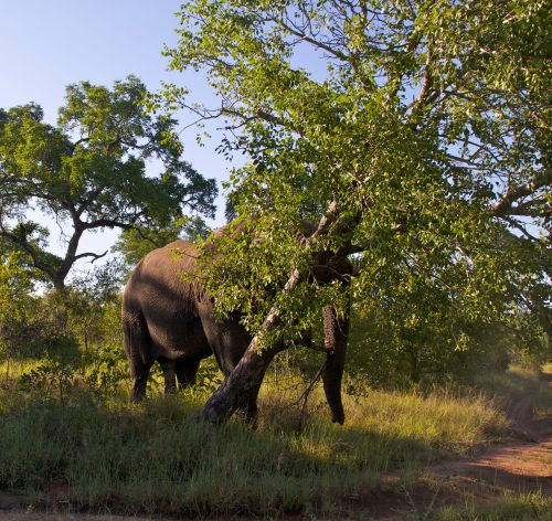 Elephant Knocking Down Tree