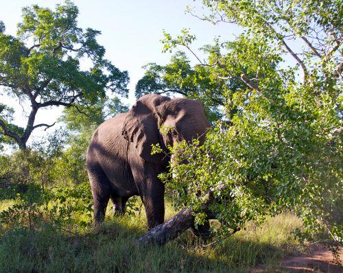 Elephant Knocking Down Tree