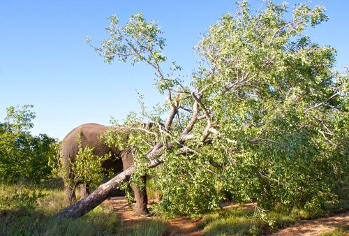 Elephant Tree Down