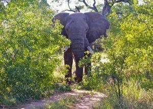 Big elephant look