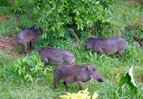 Warthog Zimbabwe